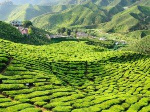 Малайзия, Камерон-Хайлендс, плантация чая